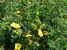 NEW Potentilla Fruticosa Sommerflor.JPG