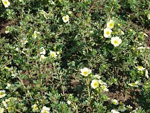 Potentilla Fruticosa Primrose Beauty.JPG