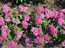Spiraea Japonica Anthony Waterer.JPG